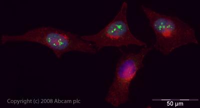 Immunocytochemistry/ Immunofluorescence - SMARCA1 antibody (ab37003)
