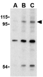 Western blot - TLR6 antibody (ab37072)