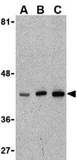 Western blot - XBP1 antibody (ab37152)