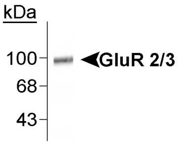 Western blot - GluR2 + 3 antibody (ab37174)