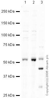Western blot - MINA53 antibody (ab37175)
