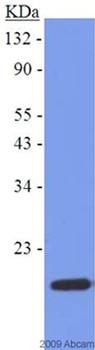 Western blot - Fatty Acid Binding Protein 5 antibody (ab37267)