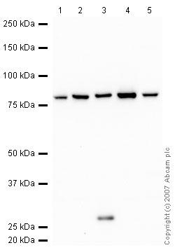 Western blot - H Cadherin antibody (ab37369)