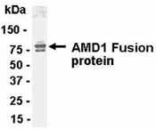 Western blot - AMD1 antibody (ab37387)