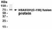 Western blot - ZNF330 antibody (ab37462)