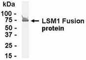 Western blot - LSM1 antibody (ab37463)