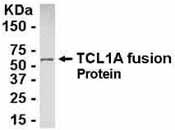Western blot - Tcl1 antibody (ab37465)