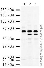 Western blot - NUMBL antibody (ab37500)