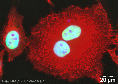Immunocytochemistry/ Immunofluorescence - U2AF65 antibody (ab37530)