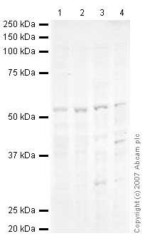 Western blot - Anti-Cyclin E1 antibody (ab37541)