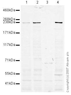 Western blot - TFIIIC / GTF3C1 antibody (ab37643)
