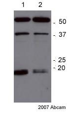 Western blot - RAGE antibody (ab37647)