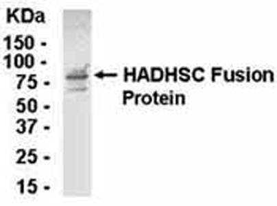 Western blot - HADHSC antibody - Azide free (ab37673)
