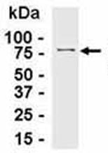 Western blot - SGTA antibody - Azide free (ab37706)