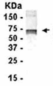 Western blot - CD55 antibody (ab37720)