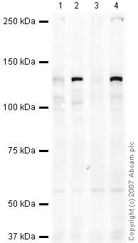 Western blot - Eg5 antibody (ab37814)