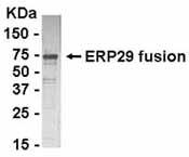Western blot - ERp29 antibody - Azide free (ab37850)