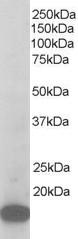 Western blot - p21-ARC antibody (ab37916)