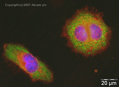 Immunocytochemistry/ Immunofluorescence - eEF1A1 antibody (ab37969)