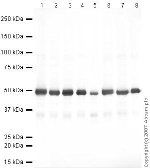 Western blot - Anti-eEF1A1 antibody (ab37969)