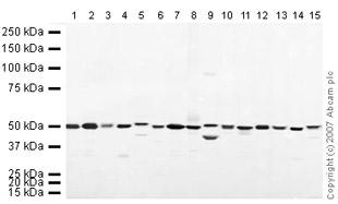 Western blot - eEF1A1 antibody (ab37969)