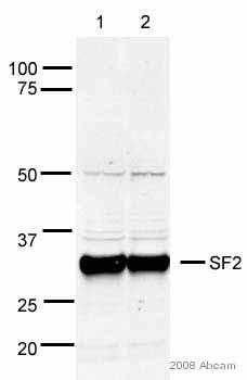 Western blot - SF2 antibody (ab38017)