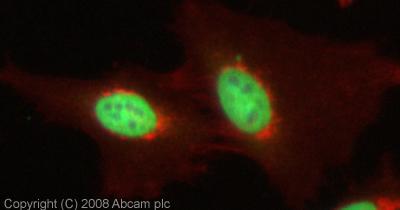 Immunocytochemistry/ Immunofluorescence - KDM6B / JMJD3 antibody (ab38113)