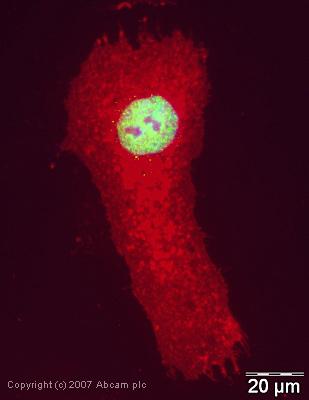 Immunocytochemistry/ Immunofluorescence - RbAp48 antibody (ab38135)