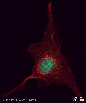 Immunocytochemistry/ Immunofluorescence - SFPQ antibody (ab38148)