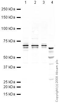 Western blot - p75 NGF Receptor antibody (ab38335)