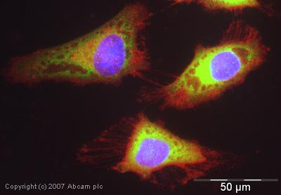 Immunocytochemistry/ Immunofluorescence - eIF4B antibody (ab38359)