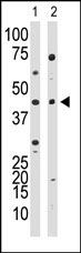 Western blot - YY1 antibody (ab38422)