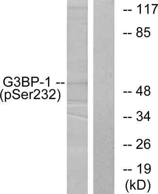 Western blot - G3BP (phospho S232) antibody (ab38463)