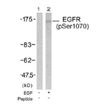 Western blot - EGFR (phospho S1070) antibody (ab38503)