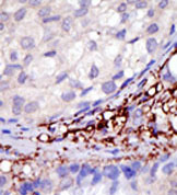 Immunohistochemistry (Formalin/PFA-fixed paraffin-embedded sections) - TRIAD3 antibody (ab38541)