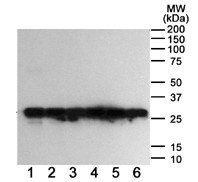 Western blot - GFP antibody [6AT316] (ab38689)