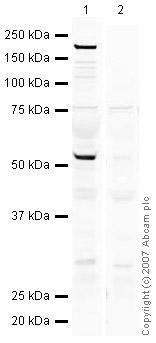 Western blot - GCNF antibody (ab38816)