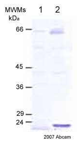 Western blot - MMP14 antibody - Hinge region (ab38971)
