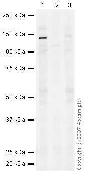 Western blot - Met (c-Met) antibody (ab39075)