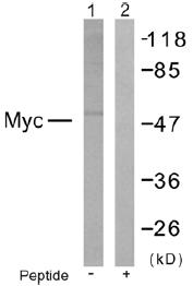 Western blot - c-Myc antibody (ab39686)