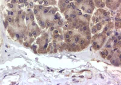 Immunohistochemistry (Formalin/PFA-fixed paraffin-embedded sections) - GRPR antibody (ab39883)