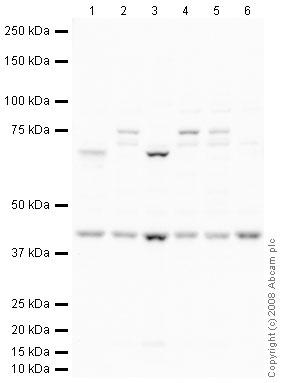 Western blot - Nodal antibody (ab39953)