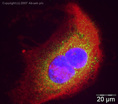 Immunocytochemistry/ Immunofluorescence - Endothelin B Receptor antibody (ab39960)