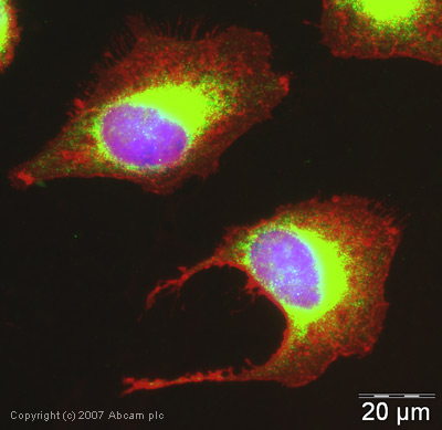Immunocytochemistry/ Immunofluorescence - Cytochrome P450 Reductase antibody (ab39995)