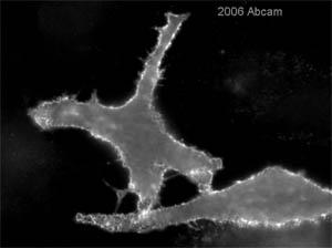 Immunocytochemistry/ Immunofluorescence - Ezrin antibody [3C12] (ab4069)
