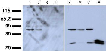 Western blot - HMGA1a / HMGA1b antibody (ab4078)
