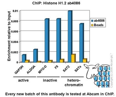 ChIP - Histone H1.2 antibody - ChIP Grade (ab4086)
