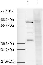 Western blot -  Apc7 antibody (ab4171)