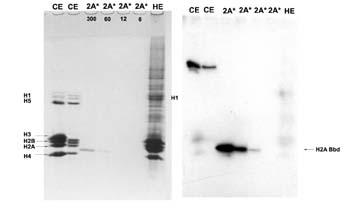 - Histone H2A-Bbd antibody (ab4175)