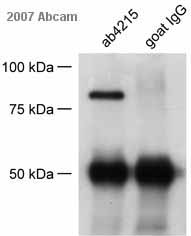 Immunoprecipitation - RNF22 antibody (ab4215)